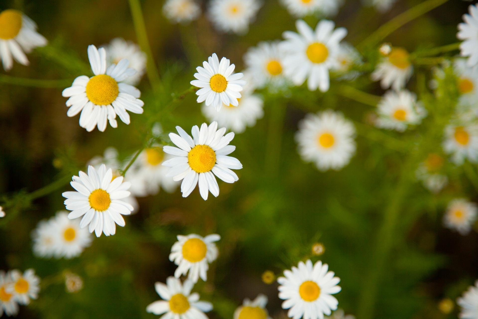 camomile blossom-84683_1920