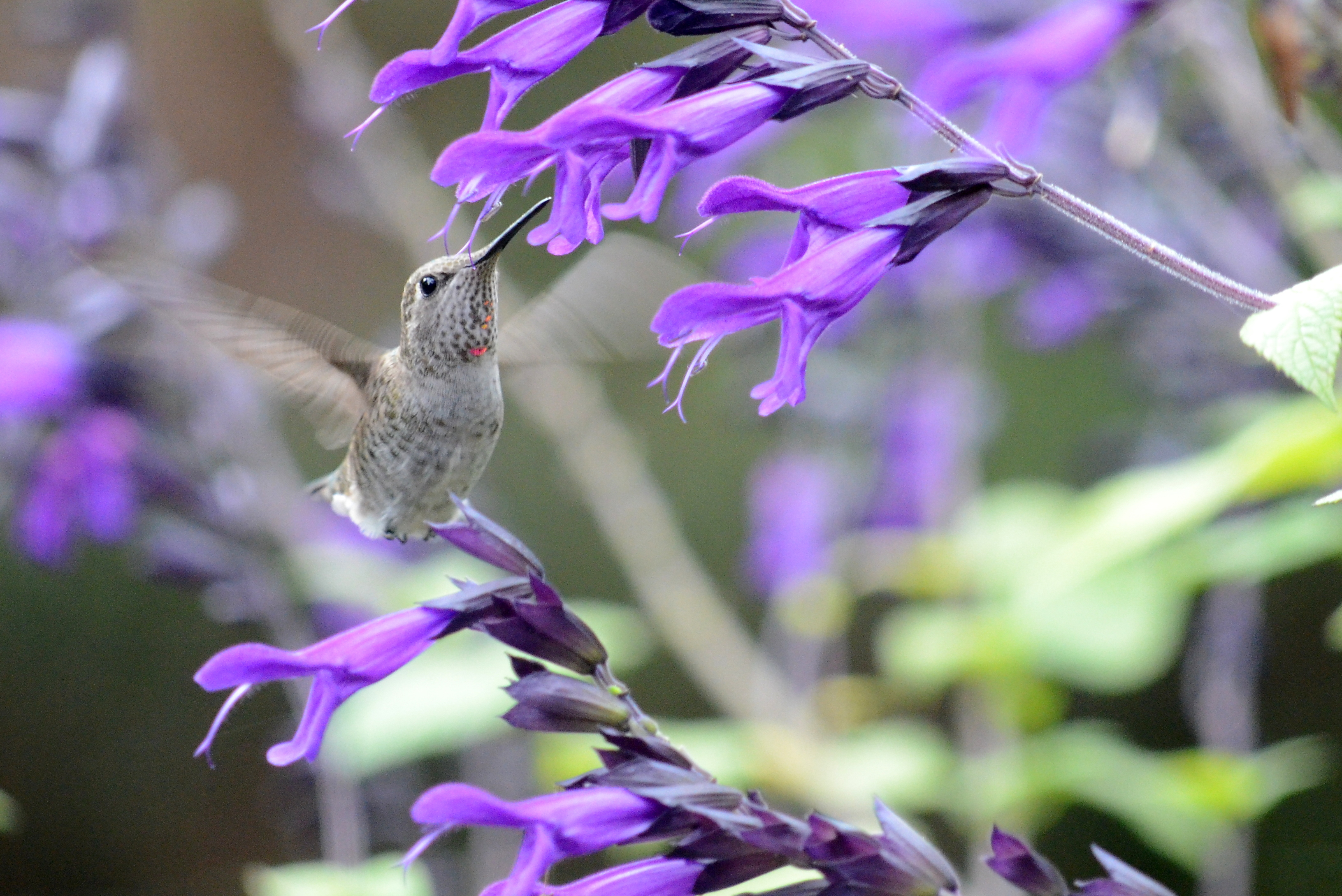 Hummingbird_Purple Salvia